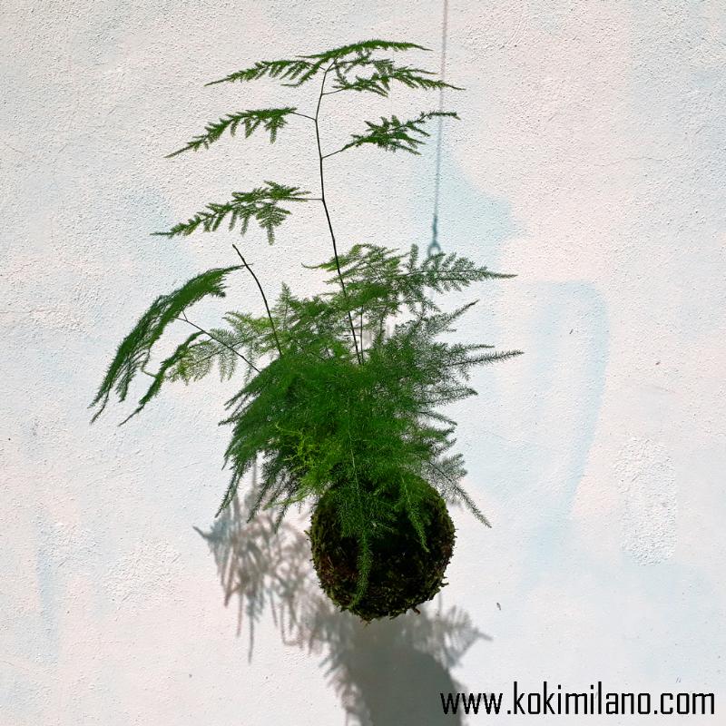 Kokedama-Asparagus-Setaceus,-Kokedama-Felce-Asparagina-Plumosa,-Sparsina,-string-of-pearls-plant,-flying-garden,-moss-ball