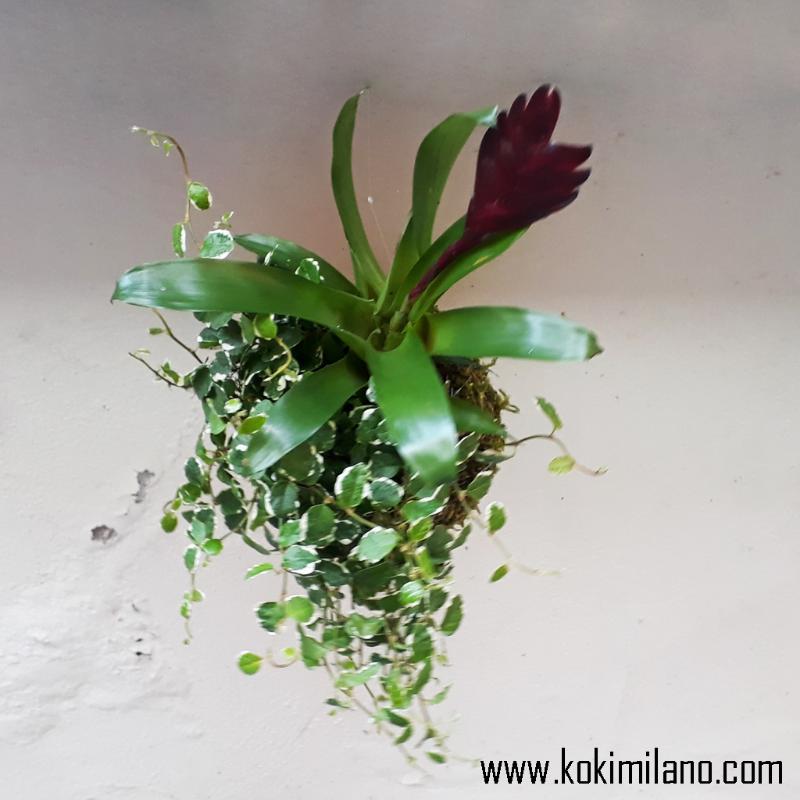 Kokedama-Mix-di-Piante-,-Succulens,-Spider-Plant,-Moss-.-Composizione-di-piante,-Gaultheria,-Beucarmea,-edera
