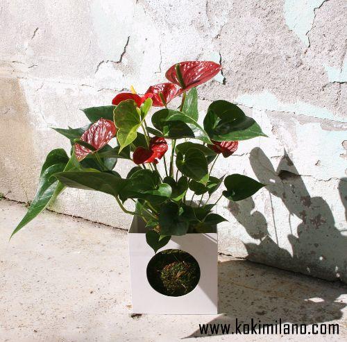 Kokedama-Anthurium