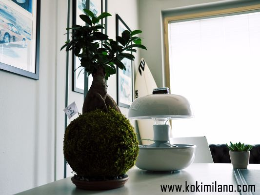 Kokedama-Bonsai-Ficus
