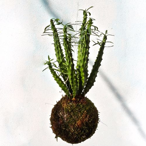 Kokedama-di-Euphorbia,-Euphorbia-candelabrum-crestata
