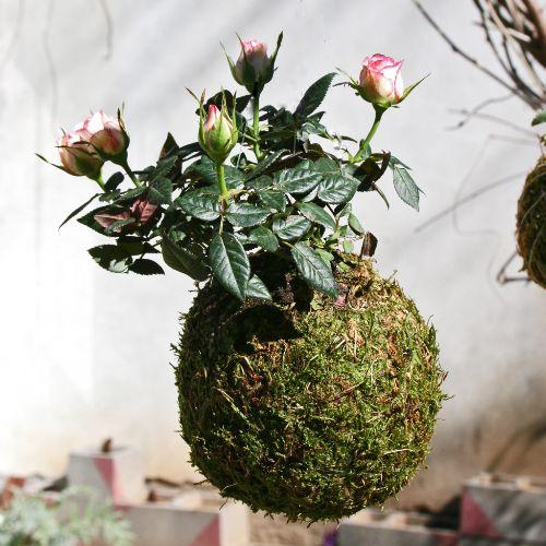 Kokedama-di-Rosa,-Rosetta,-Pianta-di-Rose,-string-of-pearls-plant,-Wall-flower,-String-Garden,-palla-di-muschio,-Verde-Verticale
