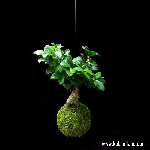 Kokedama-Ficus,-Gingseng