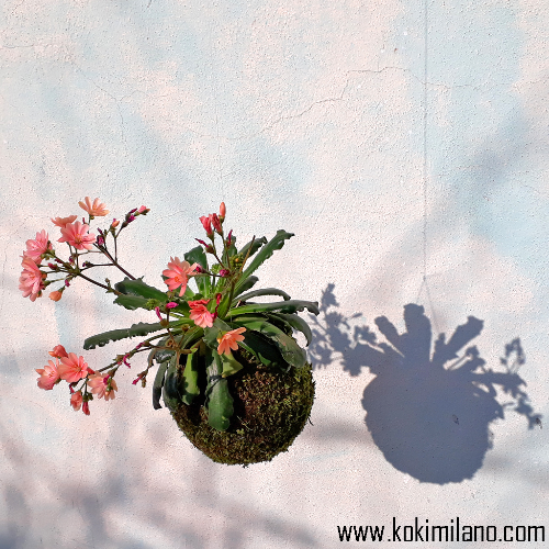 KOKEDAMA-Fiori-Stagionali-(Primavera-Estate)-,-Flower-Kokedama,-Flying-Flowers,-Fiori-volanti,-piante-volanti,-giardino-sospeso,-vertical-green