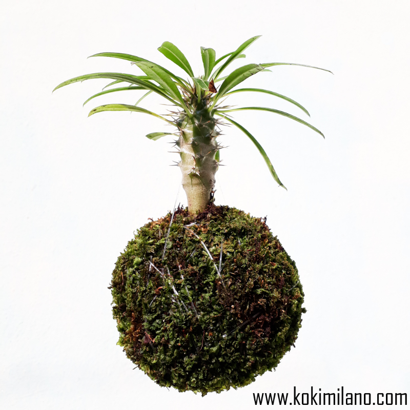 Mini-Kokedama-di-Pachypodium,-Cactus,-string-of-pearls-plant,-flying-catus,-string-garden,-wall-flowers,-Succulens