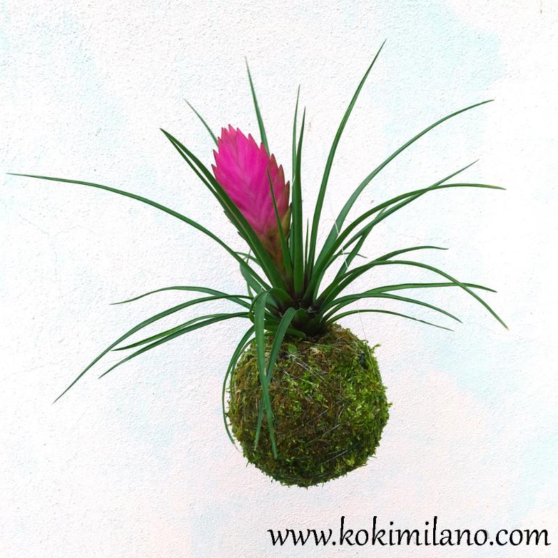 Kokedama-di-tillandsia-cyanea,-Idea-Regalo-Pasqua,-Kokedama-Fiori-,-Kokedama-per-la-sposa,-Fiori-appesi,-matrimonio-,-bouquet,-centrotavola